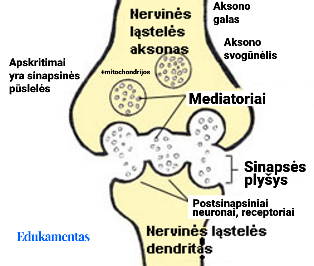 Sinapsę paaiškinantis grafikas